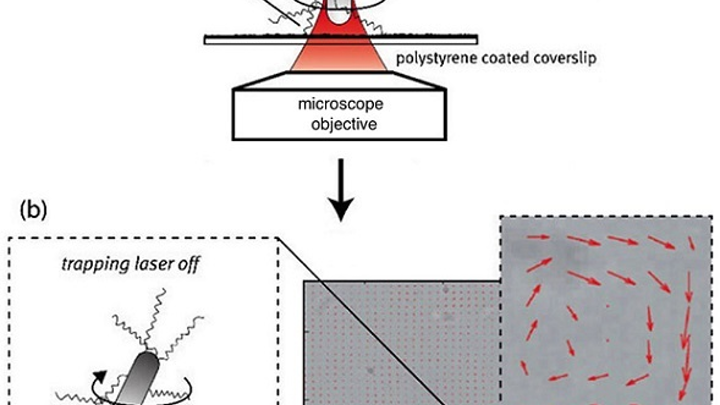 A schematic shows the (a) adhesion process of a self-propelling bacterium on a coated surface based on a holographic optical tweezer (HOT). A bright-field image shows multiple B. subtilis attached to a coated surface (b) and red arrows superimposed on the image indicate the flow of the surrounding fluid resulting from bacterial actuation. (Image credit: SPIE)