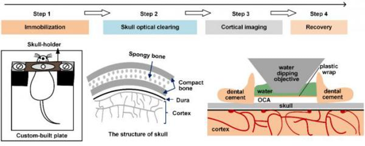 Noninvasive optical window created in the skull allows brain imaging