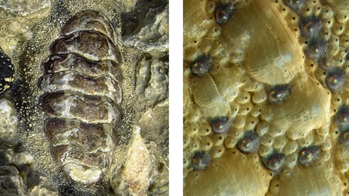 Content Dam Lfw En Articles 2015 12 Chiton S Armor Has Transparent Ceramic Eyes Just Like Spinel Leftcolumn Article Thumbnailimage File