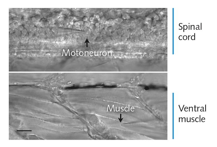 FIGURE 1. The transparent zebrafish embryo enables paired patch clamp measurements of spinal neurons and locomotory muscle cells. Two chevron-shaped repetitive segments of tail muscle are shown. The two patch clamp recording electrodes are shown for an individual motoneuron and muscle cell. Only one electrode is visible in the field because placement of the electrodes during formation of whole-cell recording mode is done under very high magnification.