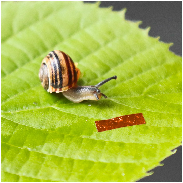 When illuminated with laser light, a liquid-crystal elastomer robot (inset) about 1 cm long crawls up walls and across ceilings just like the banded snail sitting next to it.